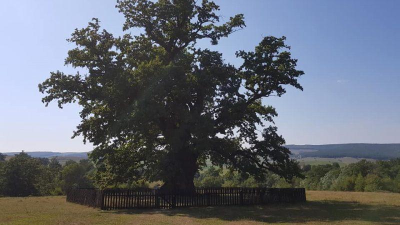 Stejarul de la Mercheaşa